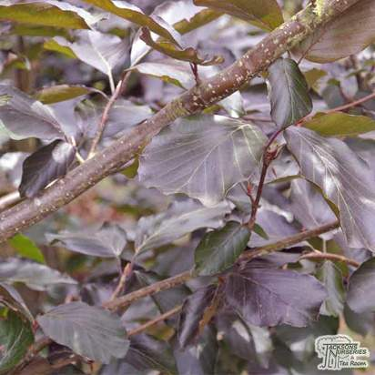 Buy Fagus sylvatica Dawyck Purple (Tree) (Purple Fastigiate Beech) online from Jacksons Nurseries