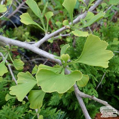 Buy Ginkgo biloba 'Autumn Gold' (Maidenhair Tree) in the UK