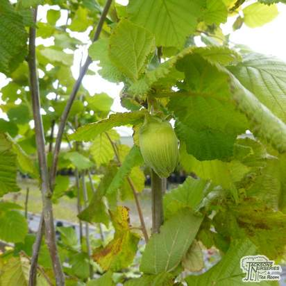 Buy Hazelnut - Corylus avellana Webbs Prize Cobb online from Jacksons Nurseries