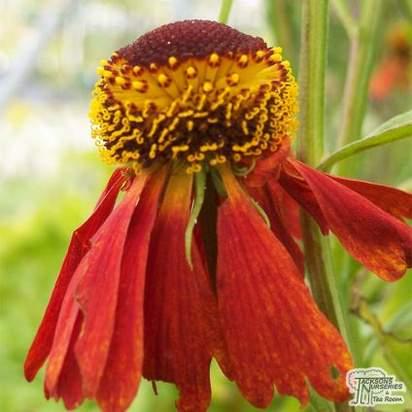 Buy Helenium Moerheim Beauty (Sneezeweed) online from Jacksons Nurseries