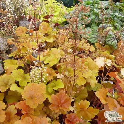 Buy Heuchera 'Autumn Glow' (Coral Bells) online from Jacksons Nurseries.
