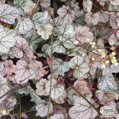 Buy Heuchera Silver Scrolls online from Jacksons Nurseries