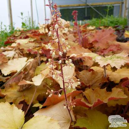 Buy Heucherella Redstone Falls at Jacksons Nurseries