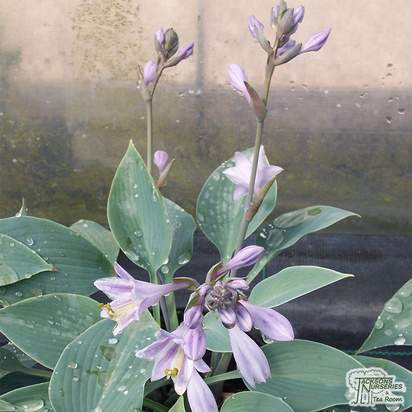 Buy Hosta Blue Angel (Plantain Lily) online from Jackson's Nurseries.