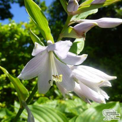 Buy Hosta 'Empress Wu' (Plantain Lily) online from Jacksons Nurseries. Guaranteed best value plants, low plant prices with fast UK delivery.