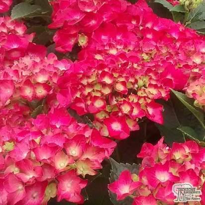 Buy Hydrangea macrophylla Alpengluhen (Hydrangea Mophead) online from Jacksons Nurseries