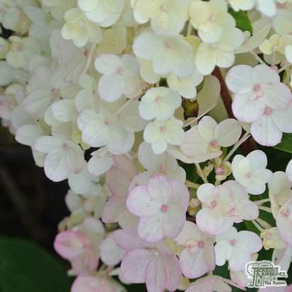Buy Hydrangea paniculata Vanille Fraise at Jacksons Nurseries