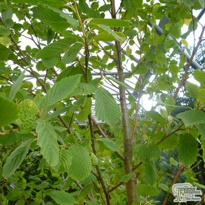 Buy Kiwi - Actinidia deliciosa 'Jenny' online from Jacksons Nurseries