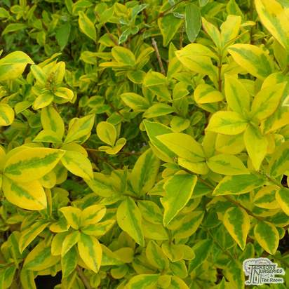 Buy Ligustrum ovalfolium Aureum Golden Privet Bare Root online from Jacksons Nurseries