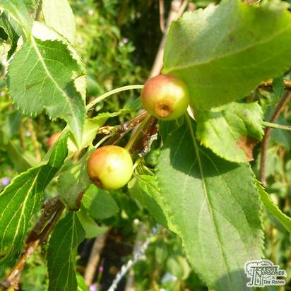 Buy Malus x scheideckeri Red Jade (Weeping Crab Apple) online from Jacksons Nurseries