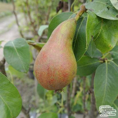 Buy Pear - Pyrus communis 'Concorde' online from Jacksons Nurseries