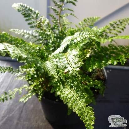 Polystichum setiferum 'Proliferum Wollastonii'
