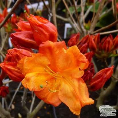 Azealea ex/knap 'Satan' flower
