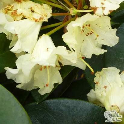 Rhododendron x hybrid 'Horizon Monarch'