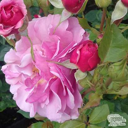 Buy Rosa Aloha online from Jacksons Nurseries