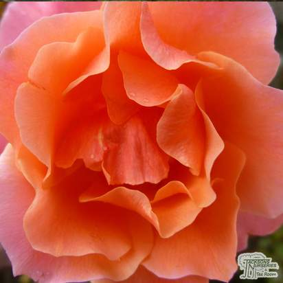Buy Rosa Fragrant Delight online from Jacksons Nurseries