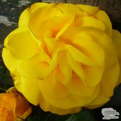 Buy Rosa Golden Wedding (Celebration Floribunda Rose) online from Jacksons Nurseries