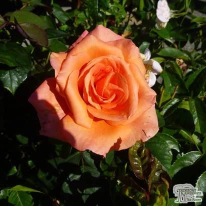 Buy Rosa Just Joey online from Jacksons Nurseries