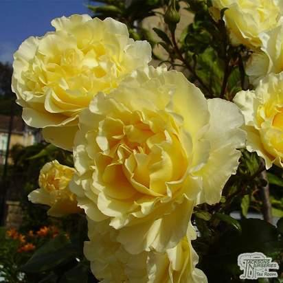 Buy Rosa Korresia online from Jacksons Nurseries