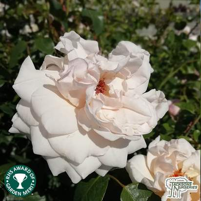 Buy Rosa New Dawn online from Jacksons Nurseries