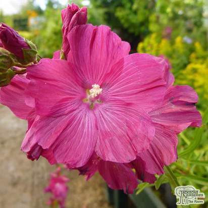 Buy Sidalcea Brilliant (Greek Mallow) online from Jacksons Nurseries