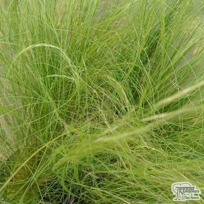 Buy Stipa tenuissima online from Jacksons Nurseries