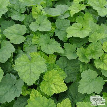 Buy Tiarella cordifolia from Jacksons Nurseries