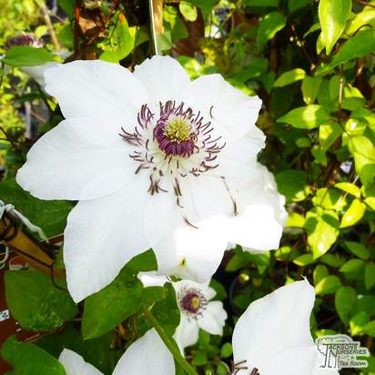 Buy Clematis 'Miss Bateman' online from Jacksons Nurseries