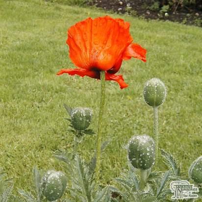 Buy Papaver orientale (Oriental Poppy) online from Jacksons Nurseries