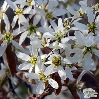 Buy Amelanchier canadensis (June Berry) online from Jacksons Nurseries