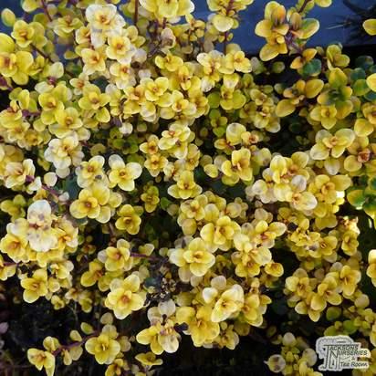 Buy Thyme Lemon Variegated online from Jacksons Nurseries.