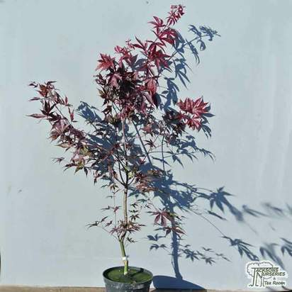 Buy Acer palmatum Fireglow online from Jacksons Nurseries
