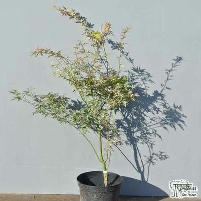 Buy Acer palmatum 'Kagiri-nishiki' (Japanese Maple) online from Jacksons Nurseries