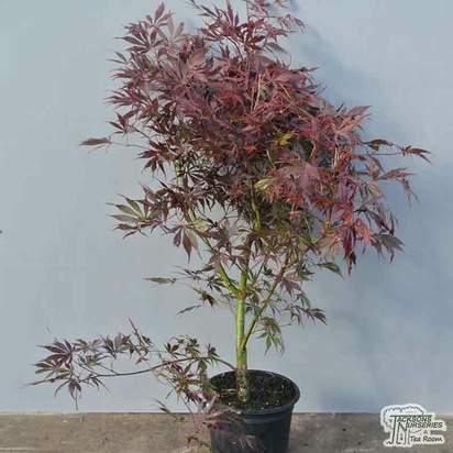Buy Acer palmatum Suminagashi (Japanese Maple) online from Jacksons Nurseries