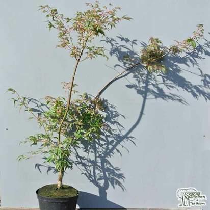 Buy Acer palmatum Ukigumo online from Jacksons Nurseries