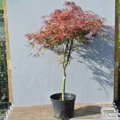 Buy Acer palmatum dissectum Crimson Princess (Japanese Maple) online from Jacksons Nurseries