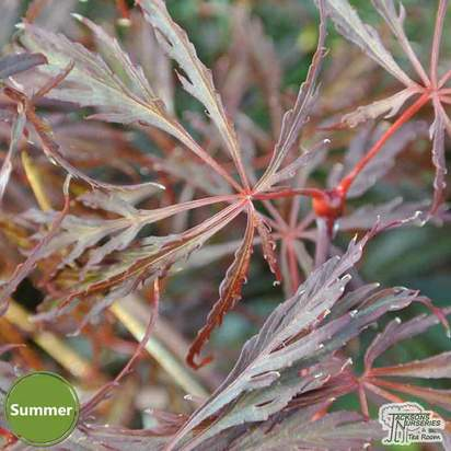 Buy Acer palmatum dissectum Crimson Queen (Japanese Maple) online from Jacksons Nurseries