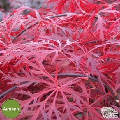 Buy Acer palmatum dissectum Garnet (Japanese Maple) online from Jacksons Nurseries