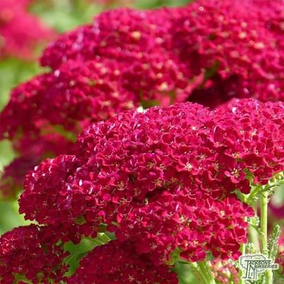 Buy Achillea millefolium 'Pomegranate' (Yarrow) online from Jacksons Nurseries
