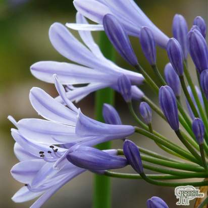 Buy Agapanthus 'Dr Brouwer' (African Lily) online from Jacksons Nurseries