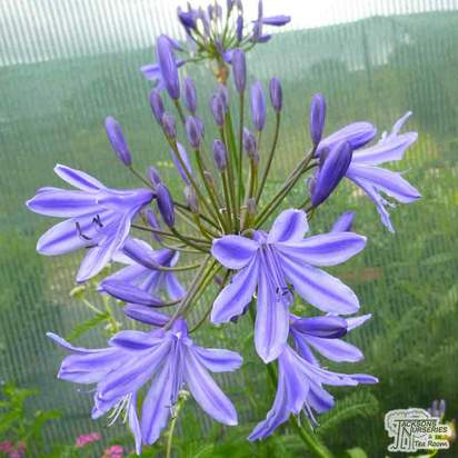 Buy Agapanthus africanus 'Delft Blue' (African Lily) online from Jacksons Nurseries