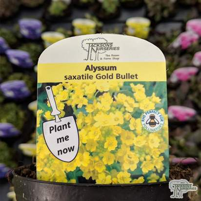 Buy Alyssum saxatile compactum 'Gold Bullet' online from Jacksons Nurseries