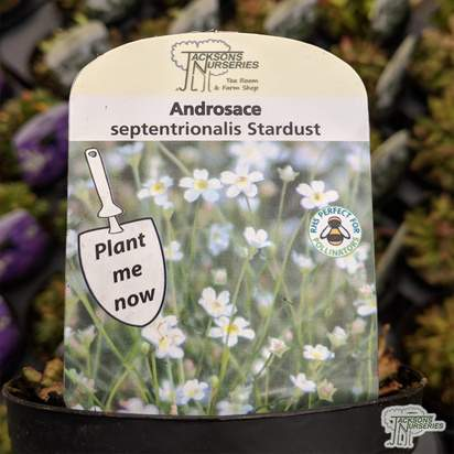 Buy Androsace septentrionalis 'Stardust' online from Jacksons Nurseries