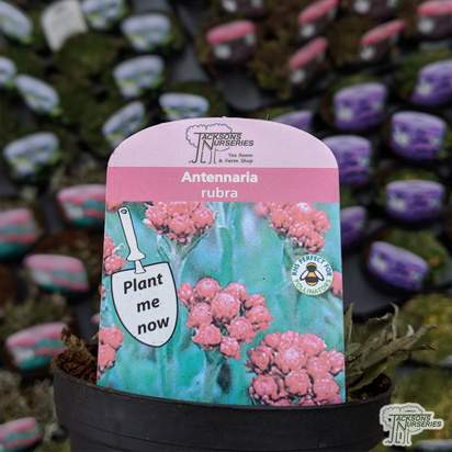 Buy Antennaria dioica 'Rubra' online from Jacksons Nurseries