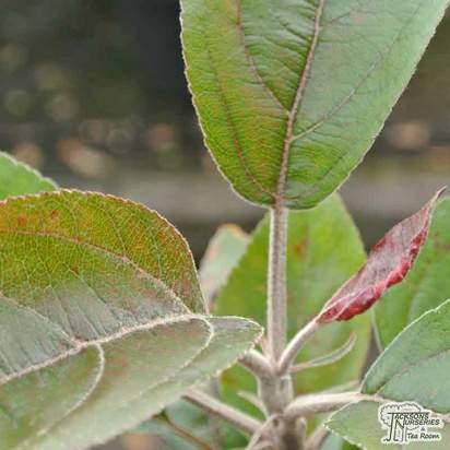 Buy Apple - Malus domestica 'Maypole' online from Jacksons Nurseries