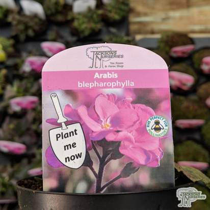 Buy Arabis blepharophylla online from Jacksons Nurseries