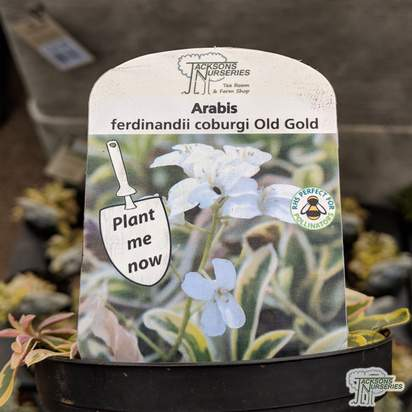 Buy Arabis coburgii 'Old Gold' (Spreading Rock Cress) online from Jacksons Nurseries.