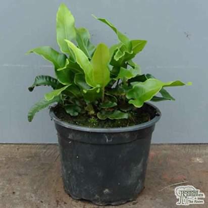 Buy Asplenium scolopendrium under leaf