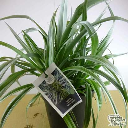 Buy Astelia Silver Spear online from Jacksons Nurseries