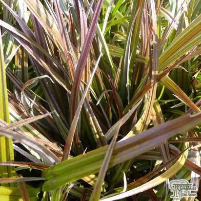 Buy Astelia nervosa 'Westland' (Silver Flax) online from Jacksons Nurseries.